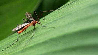 комар на зеленом листке