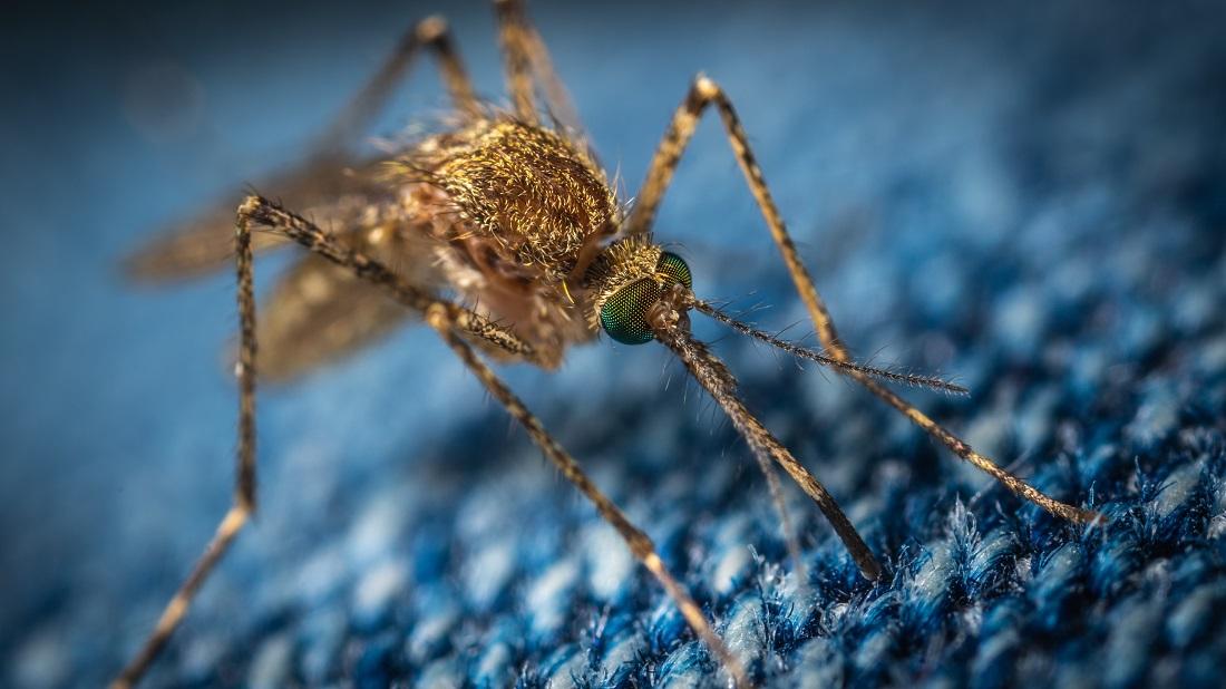 комар крупным планом